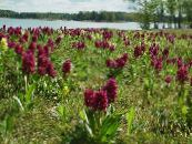 Marsh Orchid, Spotted Orchid burgundy