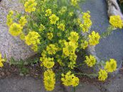 Garden Flowers Basket of Gold, Alyssum photo yellow