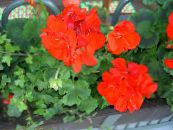 Hooded-leaf Pelargonium, Tree Pelargonium, Wilde Malva red