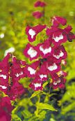 Garden Flowers Foothill Penstemon, Chaparral Penstemon, Bunchleaf Penstemon, Penstemon x hybr, photo burgundy