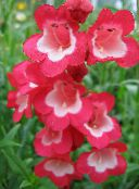 Foothill Penstemon, Chaparral Penstemon, Bunchleaf Penstemon red