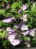Eastern Penstemon, Hairy Beardtongue lilac