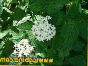 Egyptian star flower, Egyptian Star Cluster white