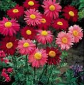 Painted Daisy, Golden Feather, Golden Feverfew red