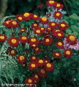 Painted Daisy, Golden Feather, Golden Feverfew burgundy