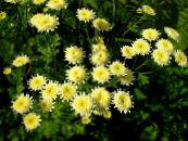Painted Daisy, Golden Feather, Golden Feverfew yellow