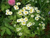 Painted Daisy, Golden Feather, Golden Feverfew white