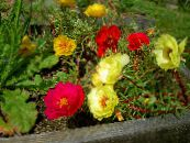 Sun Plant, Portulaca, Rose Moss red