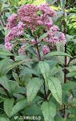 Purple Joe Pye weed, Sweet Joe Pye Weed pink