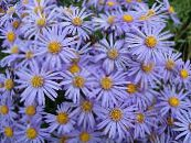 Ialian Aster light blue
