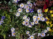 Garden Flowers Ialian Aster, Amellus photo lilac