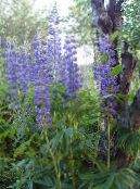 Streamside Lupin blue