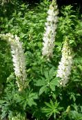 Streamside Lupin white