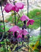 Purple Bell Vine pink