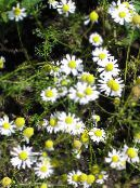 German Chamomile, Scented Mayweed white