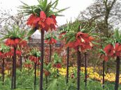 Crown Imperial Fritillaria red
