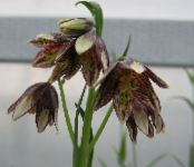 Crown Imperial Fritillaria burgundy
