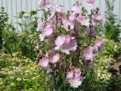 Checkerbloom, Miniature Hollyhock, Prairie Mallow, Checker Mallow pink
