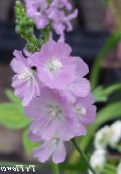 Checkerbloom, Nutztiere, Stockrose, Wiese Malve, Checker Malve flieder