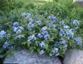 Garden Flowers Blue dogbane, Amsonia tabernaemontana photo light blue