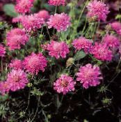 Scabiosa, Pincushion Flower pink
