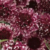 Scabiosa, Pincushion Flower burgundy