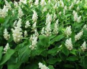 Canada Mayflower, False Lily of the Valley white