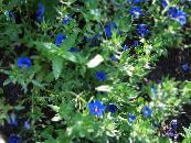 Blue pimpernel blue