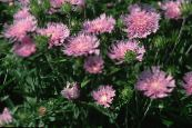 Cornflower Aster, Stokes Aster pink