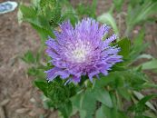 Cornflower Aster, Stokes Aster lilac
