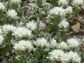 Garden Flowers Pearl everlasting, Anaphalis photo white