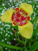 Tiger Flower, Mexican Shell Flower yellow