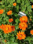 Sunflower Tree, Tree Marigold, Wild Sunflower, Mexican Sunflower orange