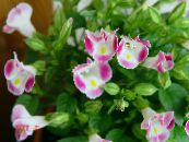 Clown Flower, Wishbone Flower pink