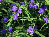 Virginia Spiderwort, Lady's Tears blue