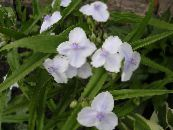 Virginia Spiderwort, Lady's Tears white