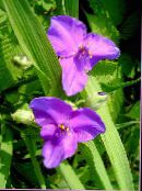 Virginia Spiderwort, Lady's Tears lilac
