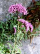 Throatwort pinkki