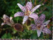 Toad Lily lilac
