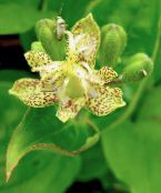 Toad Lily yellow