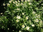 Canada Anemone, Meadow Anemone white