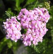 Yarrow, Milfoil, Staunchweed, Sanguinary, Thousandleaf, Soldier's Woundwort pink