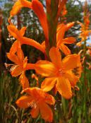 Watsonia, Bugle Lily orange