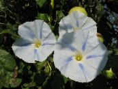 Morning Glory, Blue Dawn Flower white