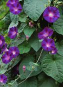 Morning Glory, Blue Dawn Flower purple