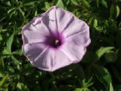 Morning Glory, Blue Dawn Flower lilac