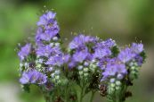 Californian bluebell, Lacy Phacelia, Blue Curls, Caterpillar, Fiddleneck, Spider Flower, Wild Heliotrope light blue