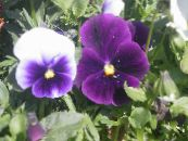 Viola, Pansy purple