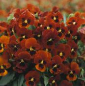 Horned Pansy, Horned Violet red