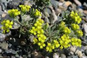 Rydberg Twinpod, Double Bladderpod lilac